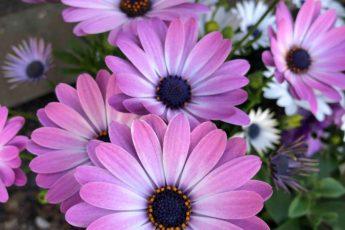 grow daisies in your garden in July