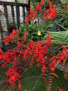 grow Crocosmia lucifer plants in august