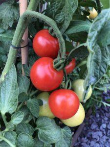how to Prevent Common Tomato Problems
