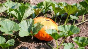 Watch out for powdery mildew