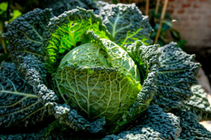 a guide to growing cabbage