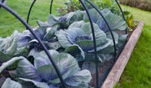 grow cabbage under netting