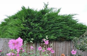 cut back your leylandii hedges this autumn
