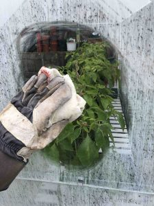 clean greenhouse windows to allow maximum light through