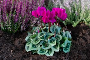 cyclamen and heather plants are great to bedding plants