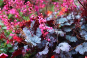 plant huechera plants in your garden bedding