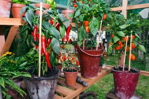 grow chillies indoors