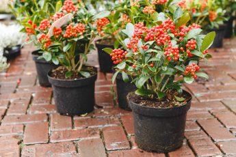 plant skimia shrubs this autumn
