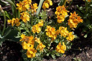 plant wallflowers this autumn in your garden bedding