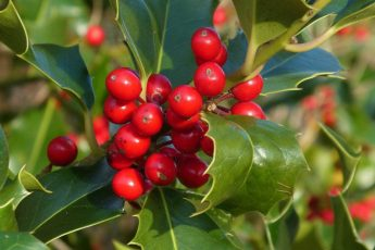plant holly bushes to use as natural christmas decorations