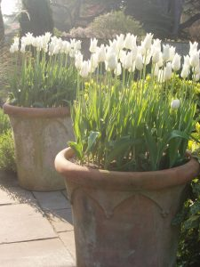 planting spring bulbs in plant pots