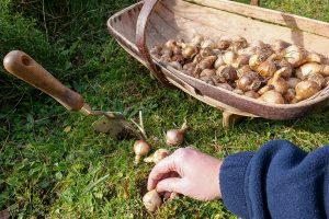 naturalise spring bulbs