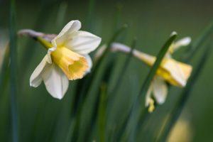 Waterperry daffodil plants