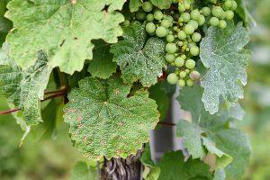beware of mildew on your grape plants
