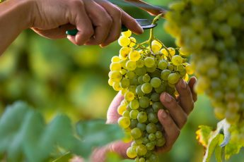 harvest bunches of grapes from your grape plant